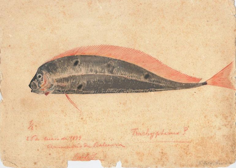Ilustração de um trachypterusrei (rei-dos-arenques), por Carlos de Bragança. Biblioteca do Museu Oceanográfico D. Carlos I, Aquário Vasco da Gama