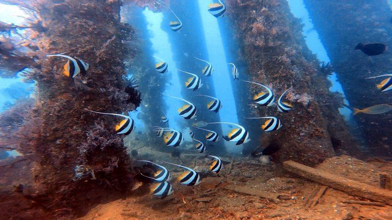 Peixe de coral Borboleta de estandarte (heniochus acuminatus) fotografados a 10 m de profundidade no Cais da Pertamina, Dili, Timor-Leste (imagem Rui Ferreira)