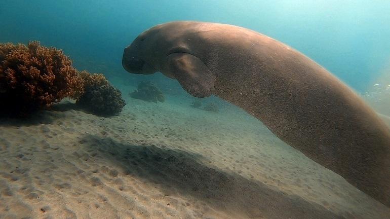 Um Dugongo ou Vaca do Mar (dugong dugon), fotografado a 8 metros de profundidade no spot de mergulho Secret Garden em Metinaro, Timor-Leste (imagem Rui Ferreira)