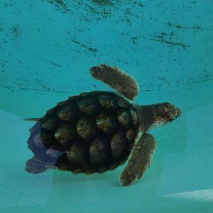 A Querubim (tartaruga-comum, caretta caretta) no tanque do Porto d'Abrigo (imagem Zoomarine)