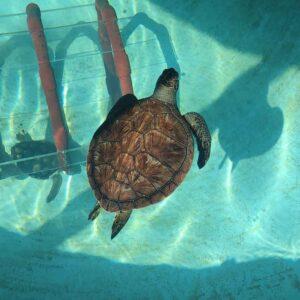 A Quibi (tartaruga-verde, chelonia mydas) no tanque do Porto d'Abrigo (imagem ZooMarine)