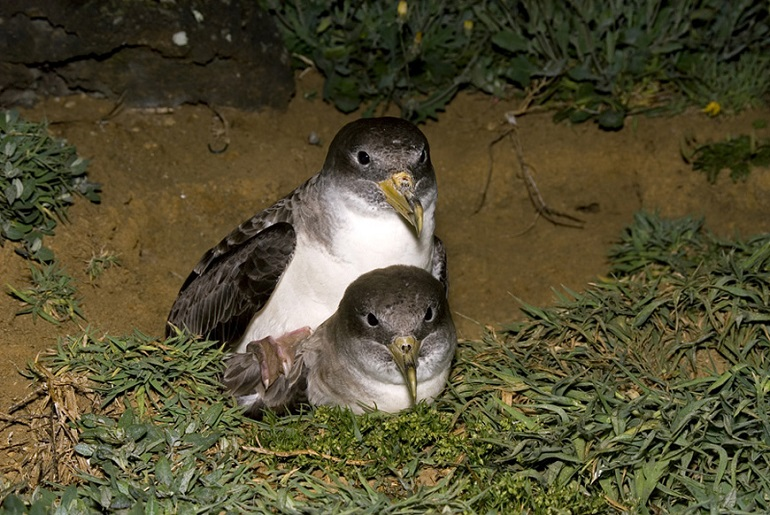 """Os Cagarros vêm todos os anos aos Açores para namorar, """"casar"""" e dar à luz os seus filhotes (imagem SIARAM - Paulo Henrique Silva)"""