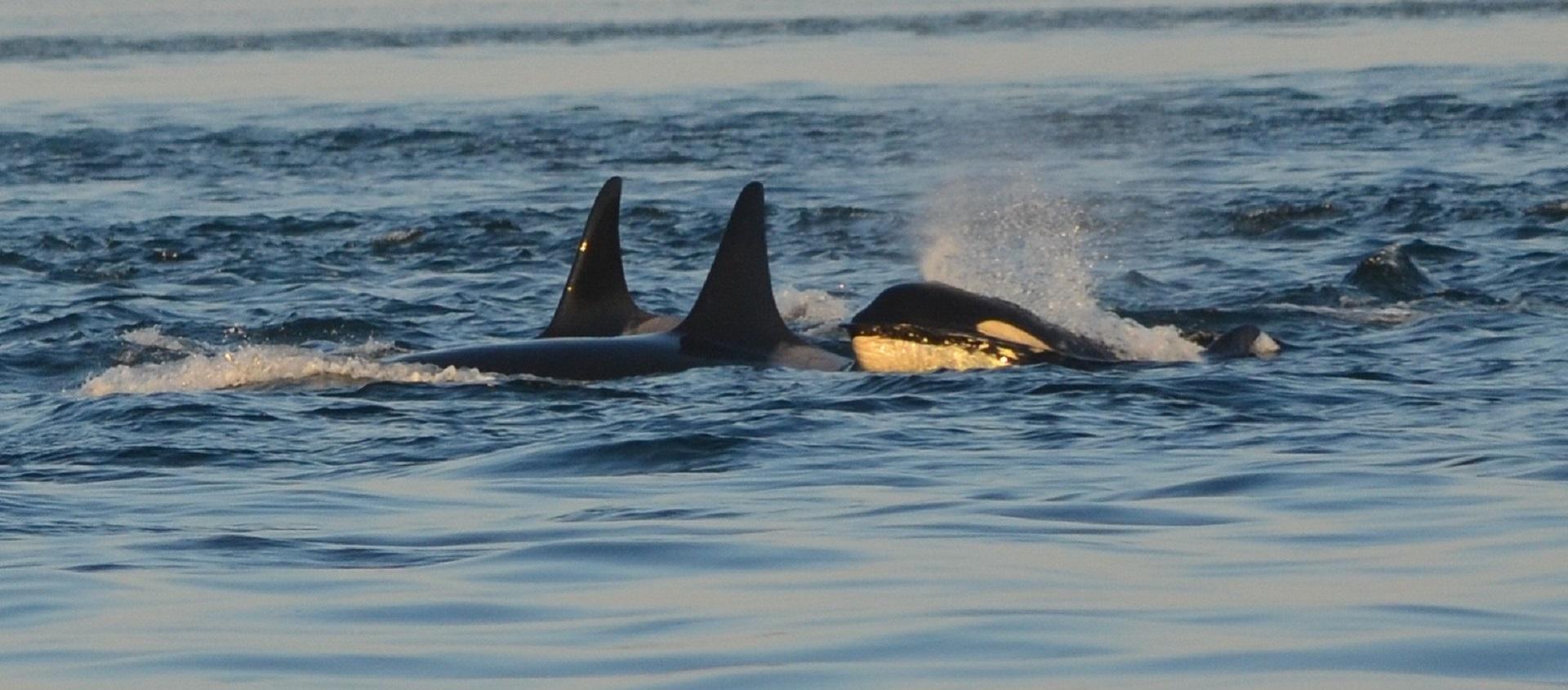 Orcas localizadas ao largo do Porto