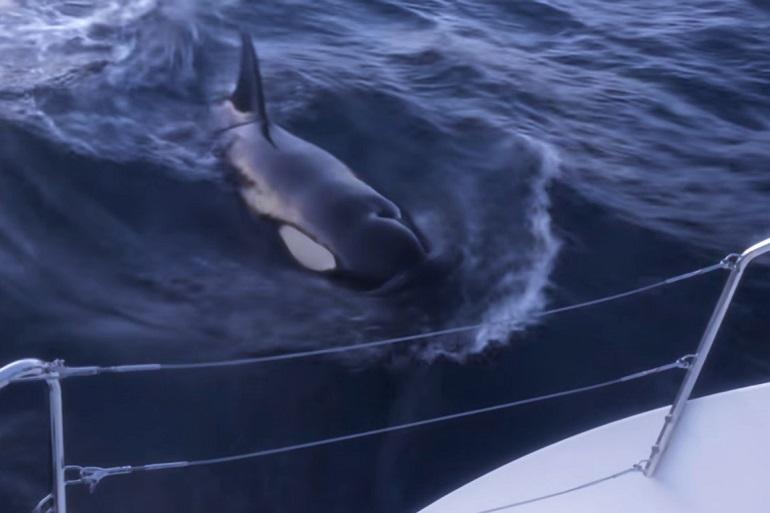 Uma orca mergulha junto ao leme do veleiro de David Smith (imagem do canal Youtube de Halcyon Yachts)
