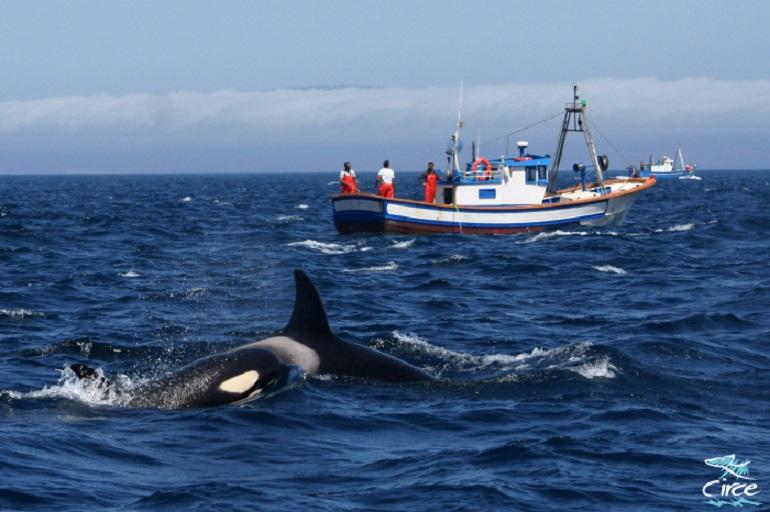 Orcas da família residente na costa portuguesa (imagem CIRCE)