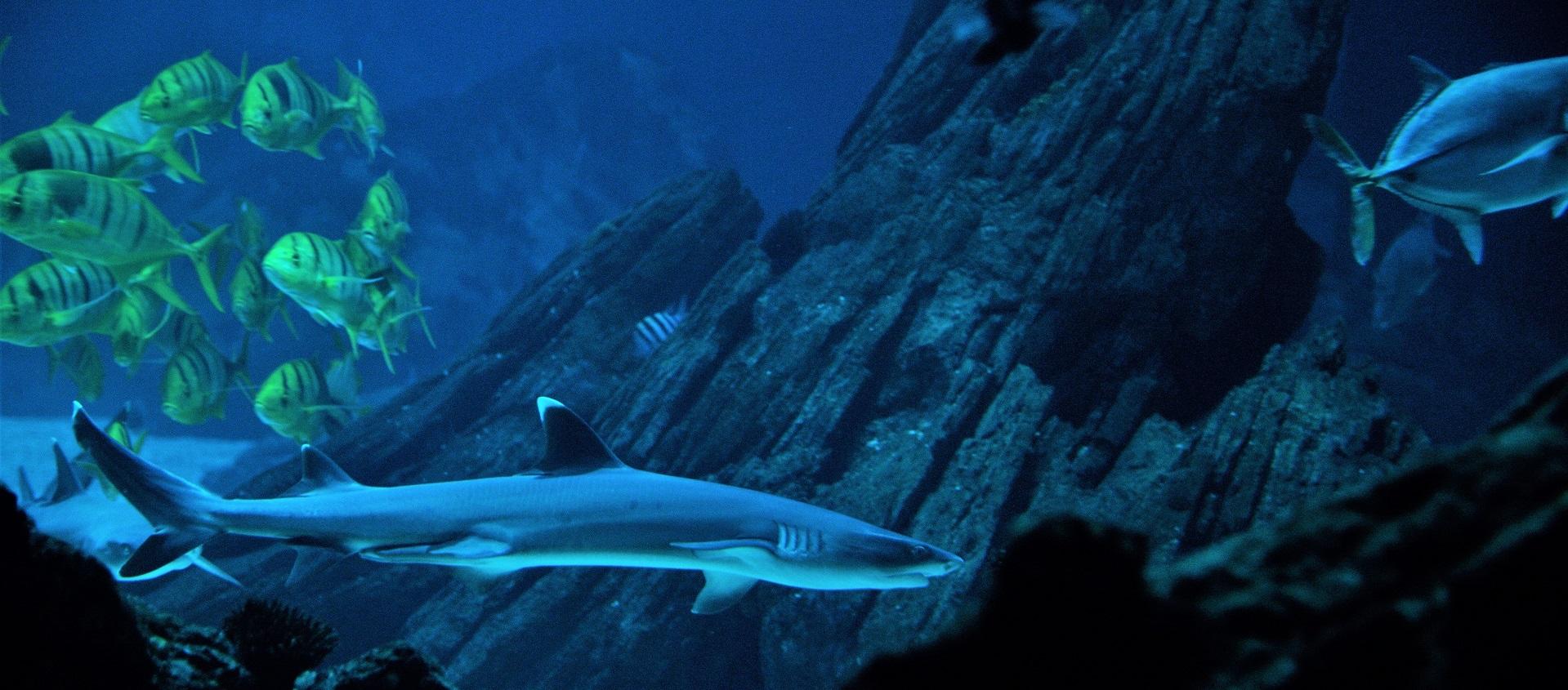 Novos tubarões-de-pontas-brancas-de-recife no Oceanário de Lisboa