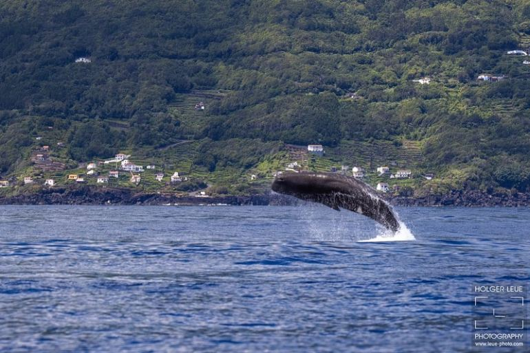 A natureza surpreende-nos. Um cachalote salta no cenário da costa do Pico (imagem Holger Leue)