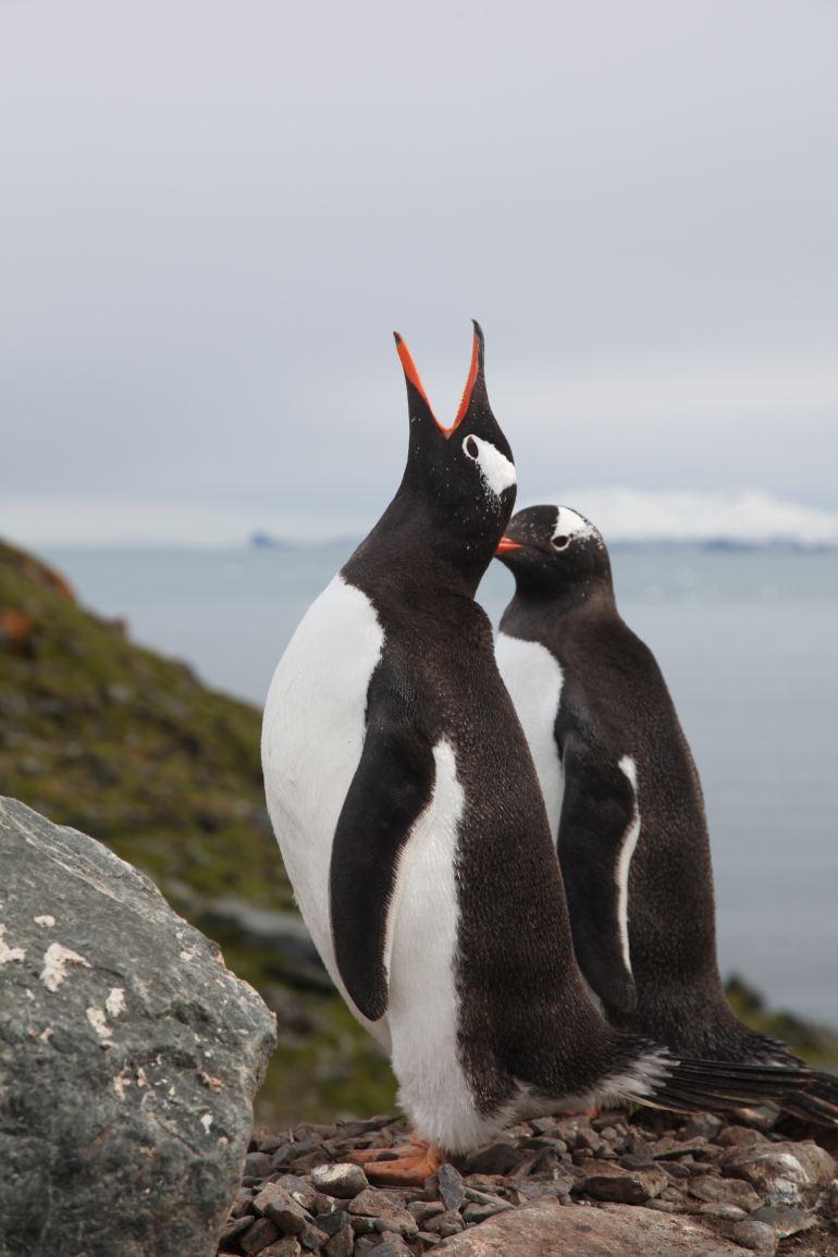 Os Pinguins-gentoo foram uma das espécias estudadas na Antártida (imagem José Xavier)