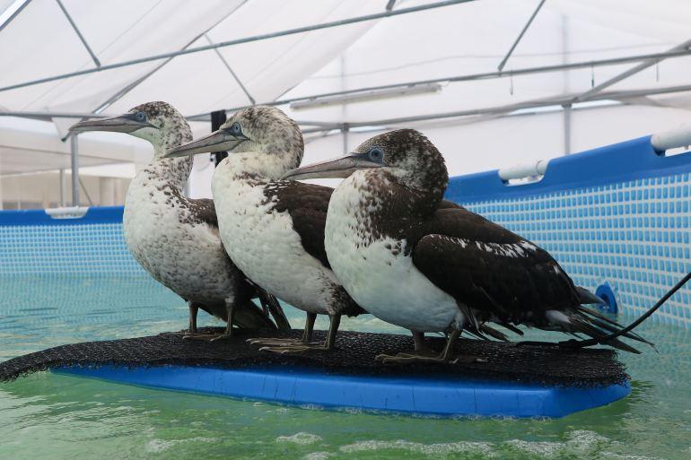 """Aves recolhidas e tratadas no CRAM. Gansos-patola (Morus bassanus) são grandes aves marinhas. A sua área de nidificação é o Atlântico Norte, normalmente em grandes colónias, em penhascos sobre o oceano ou em ilhotas rochosas. O estado de conservação desta espécie está classificado como """"Quase ameaçada"""" (imagem CRAM_Morus bassanus)"""