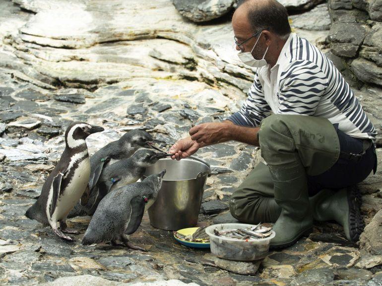 Crias de Pinguim-de-Magalhães (imagem Oceanário de Lisboa)
